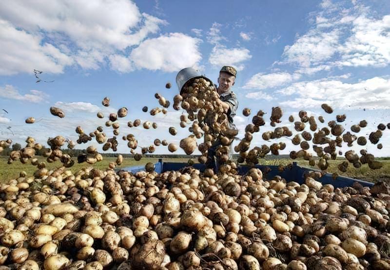 врожай картоплі