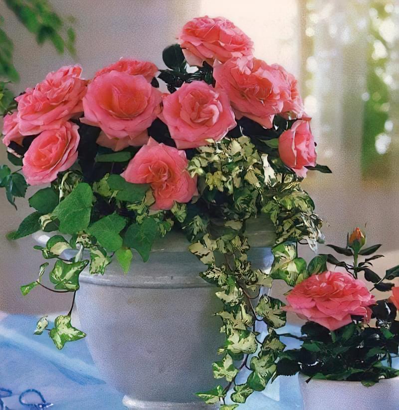 як доглядати за декоративною трояндою в горщику