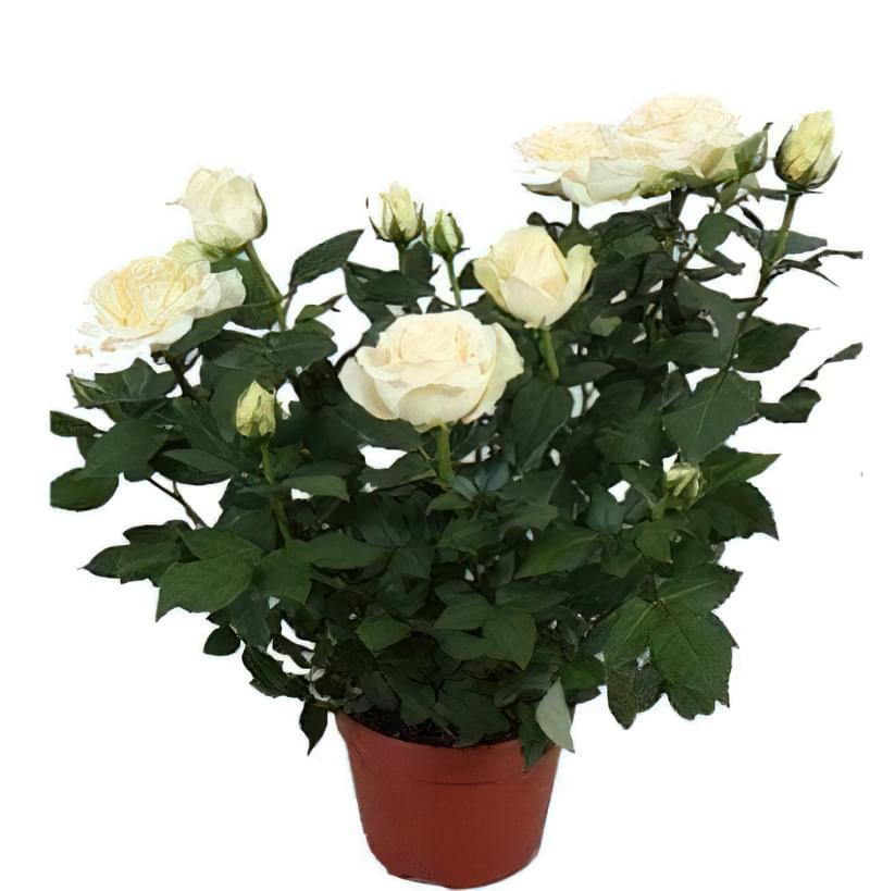 декоративна троянда в горщику