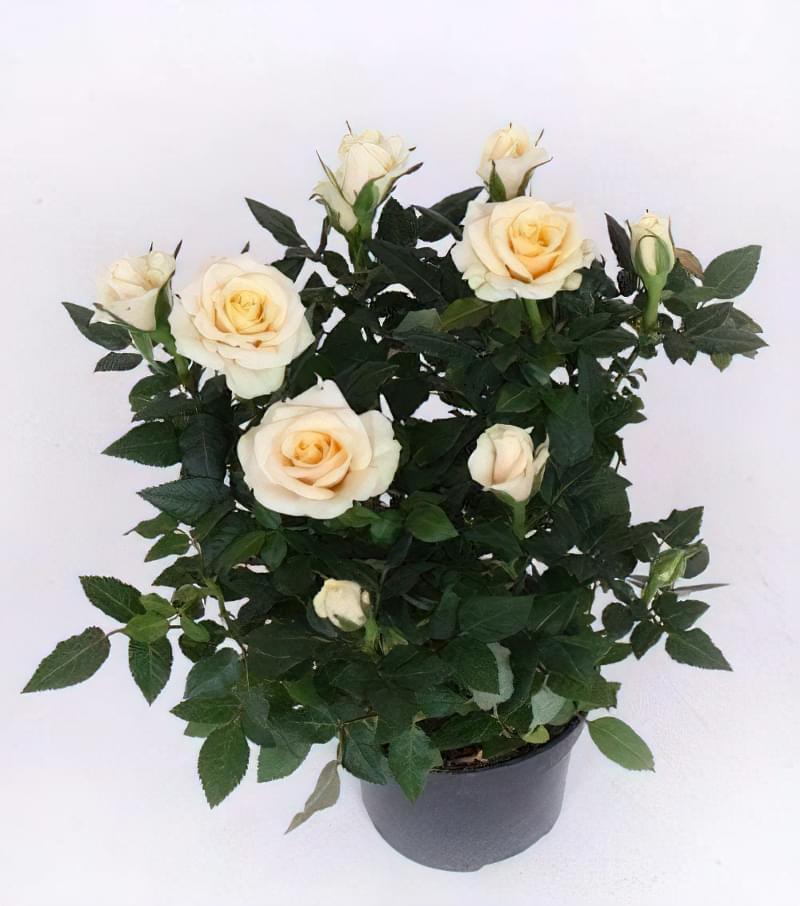 як доглядати за декоративною трояндою