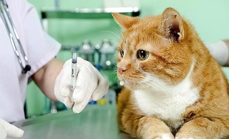 щеплення для кішок