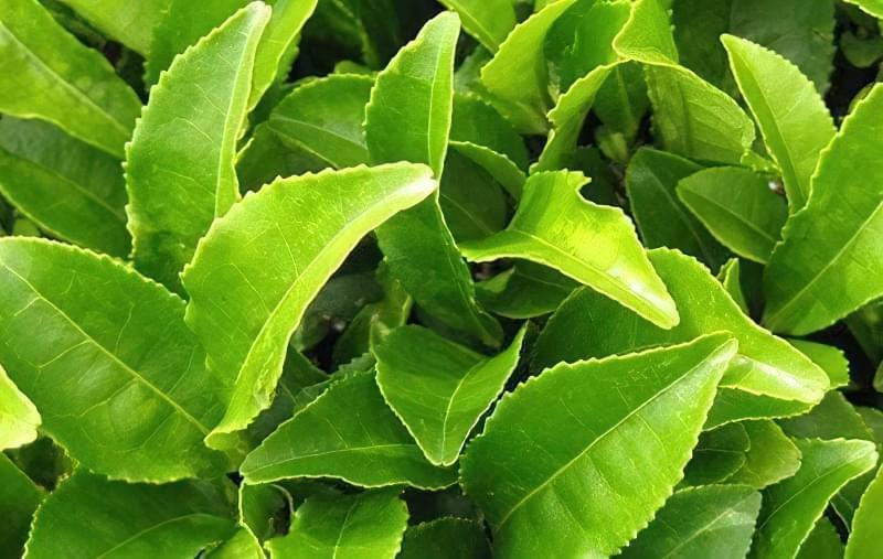 зелений чай трава для схуднення