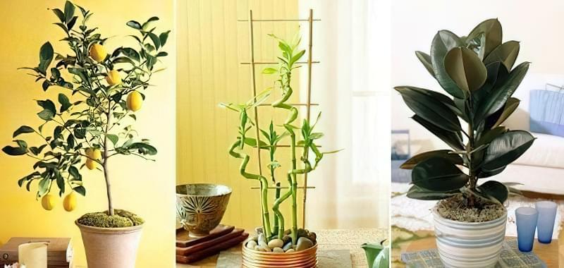 рослини для будинку по фен-шуй