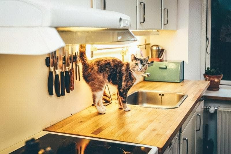 Кіт на кухні