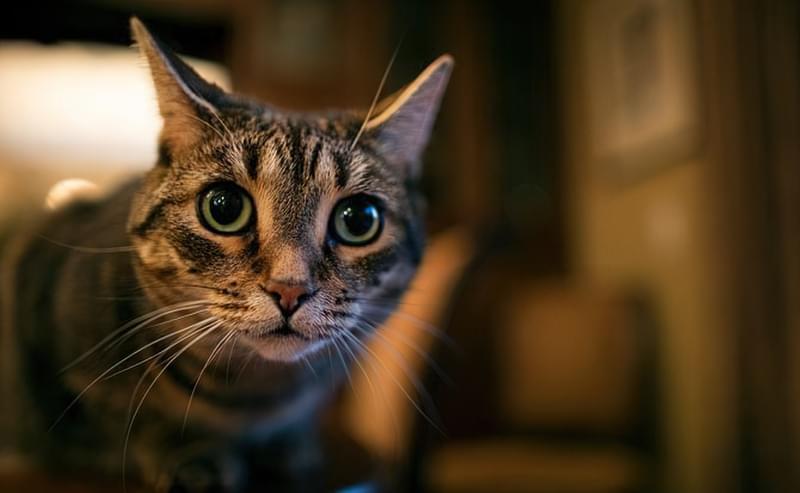 Чому не можна довго дивитися в очі кішці? 1